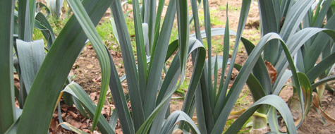 New bumper of leeks