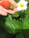 Strawberry ~ Elan F1 (Early May)