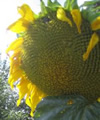 Sunflower ~ Giant Single (untreated seed)